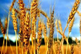 omer barley
